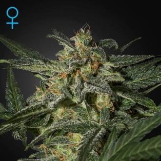White Widow Auto (Greenhouse Seeds) feminized