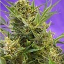 Double White (Sweet Seeds) feminized