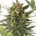 Kush-n-Cheese Autoflowering (Dinafem) feminized