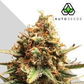 Auto Pounder with Cheese (Auto Seeds) feminized