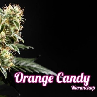 Orange Candy (Philosopher Seeds) feminized
