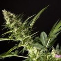 Naranchup (Philosopher Seeds) feminized
