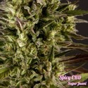 Spicy CBD (Philosopher Seeds) feminized