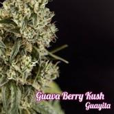 Guayita (Philosopher Seeds) feminisiert