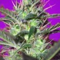 Botafumeiros (Sweet Seeds) feminized