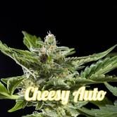 Cheesy Auto (Philosopher Seeds) feminisiert
