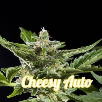 Cheesy Auto (Philosopher Seeds) feminized