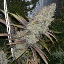 Cocoa Kush (DJ Short) regular