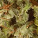 Collection Pack Sativa Champions (Paradise Seeds) feminized