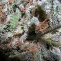 Collection Pack Indica Champions (Paradise Seeds) feminized