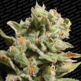 Dutch Dragon (Paradise Seeds) feminized