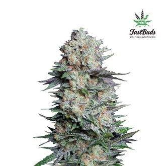 Mexican Airlines Auto (FastBuds) feminized