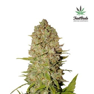 Pineapple Express Auto (FastBuds) feminized