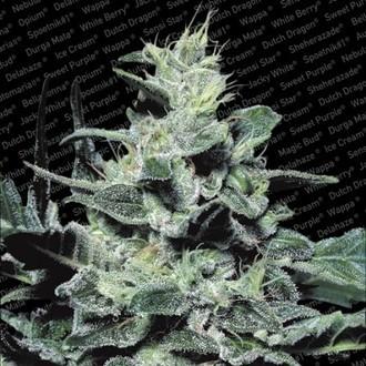 Nebula (Paradise Seeds) gefeminiseerd