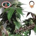 Buddha Kush OG (Big Buddha Seeds) feminized