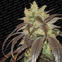 Spoetnik 1 (Paradise Seeds) feminized