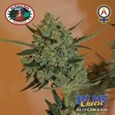 Blue Cheese Automatic (Big Buddha Seeds) feminized