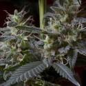 Sweet Purple (Paradise Seeds) feminized