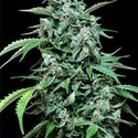 Maxi Haze (Grass-O-Matic) feminized