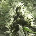 Rollex OG Kush (Devil's Harvest) feminized