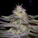 Sensi Star (Paradise Seeds) feminized