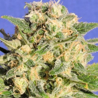 Auto Destroyer (Original Sensible Seeds) feminized