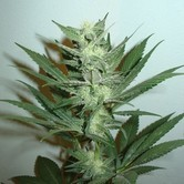 Armageddon (Homegrown Fantaseeds) feminized