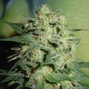 Northern Lights (Homegrown Fantaseeds) feminized