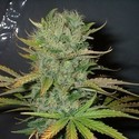 Afghani (Homegrown Fantaseeds) feminized