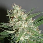 Amazing Haze (Homegrown Fantaseeds) feminized