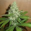 Mango (Homegrown Fantaseeds) feminized