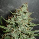 Super Crystal (Homegrown Fantaseeds) feminized