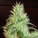 White Widow (Homegrown Fantaseeds) feminized