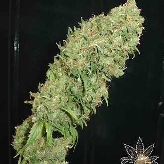 Caramella (Homegrown Fantaseeds) feminized