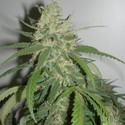 SPR Haze (Homegrown Fantaseeds) feminized