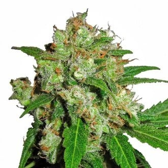 Sensi Skunk (Sensi Seeds) feminized