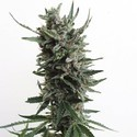 Auto Critical HOG (T.H. Seeds) feminized