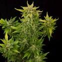 Fruit Autoflowering (Dinafem) feminized