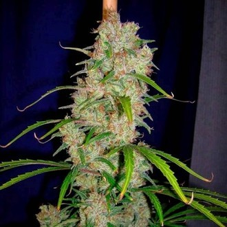 Destroyer (Cannabiogen) feminized