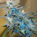 Sugarloaf (Cannabiogen) feminized