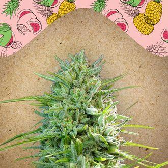 C99 (Female Seeds) feminized