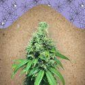 White Widow x Big Bud (Female Seeds) feminized