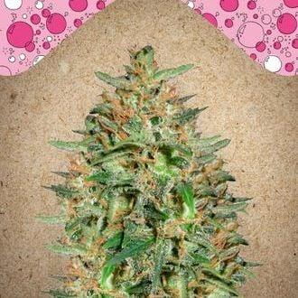 BubbleGummer (Female Seeds) feminized