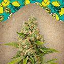 Lemon Kush (Female Seeds) feminized