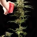 Haze Autoflowering (Dinafem) feminized