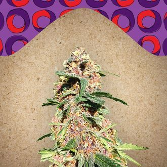 Red Purps (Female Seeds) feminized