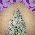 Purple Maroc (Female Seeds) feminized