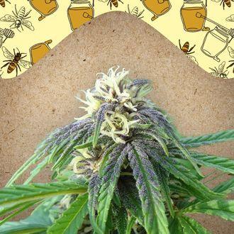 Easy Sativa (Female Seeds) feminized