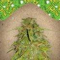 Auto Speed Bud (Female Seeds) feminized