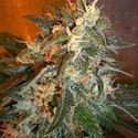 Cobra Auto (Flash Auto Seeds) feminized